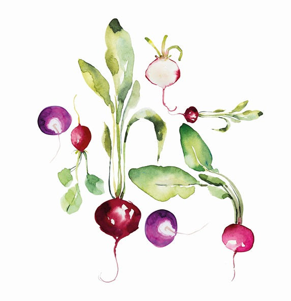 Watercolour painting of radishes