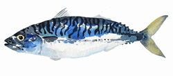 Watercolor painting of mackerel