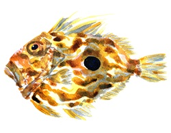 Side view of John Dory fish on white background