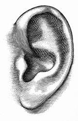 Human ear on white