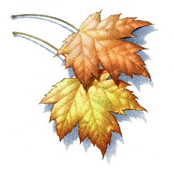 Two autumnal leaves on white