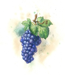Vine twig with grapes on white