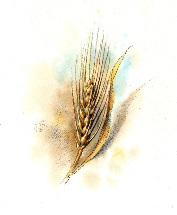 Close up of wheat crop