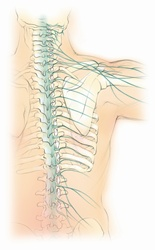 Biomedical illustration of male spine with nervous system