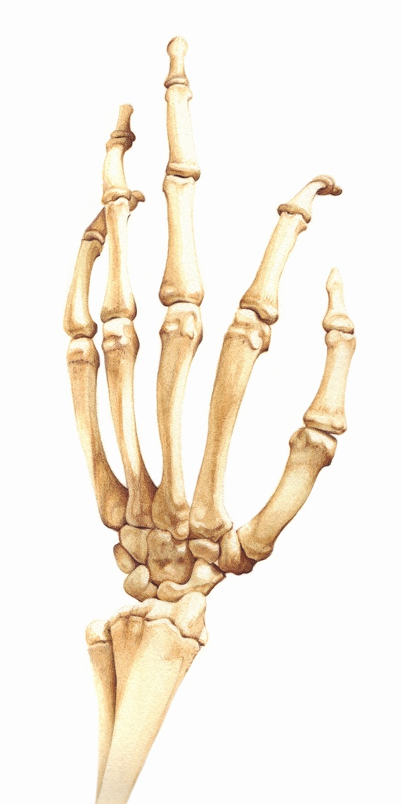 Biomedical illustration of bones in the human hand