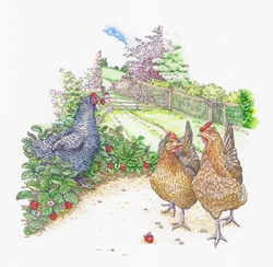 Maran and Welsummer chickens walking and eating strawberries in garden