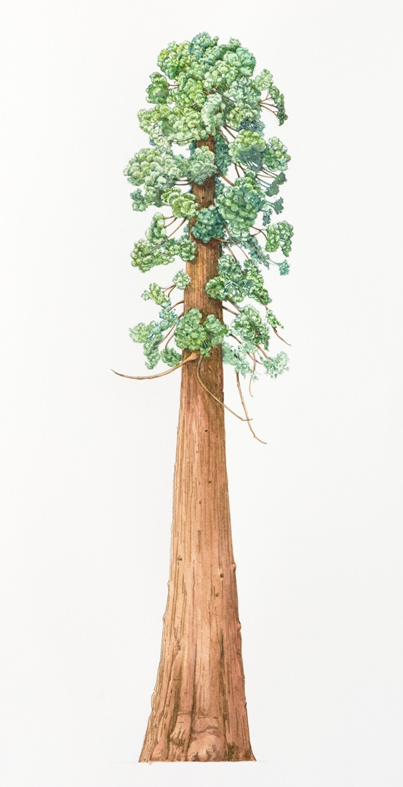 Sequoia tree on white background