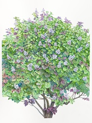 Lilac tree with purple blossoms