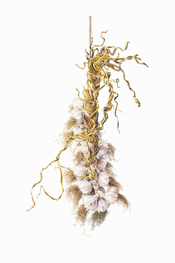 Watercolor painting of garlic bulbs hanging in braid