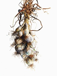 Watercolor painting of white onions hanging in string