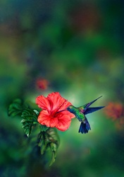 Hummingbird feeding from hibiscus flower