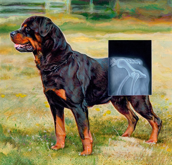 Rottweiler dog with x-ray over hips of hind legs