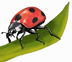 Illustration of ladybird