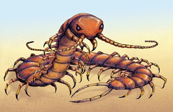 Illustration of Chinese red-headed centipede