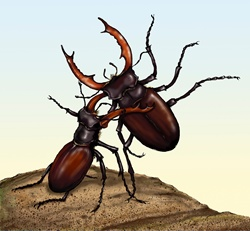 Two fighting stag beetles