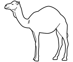 Camel on white background